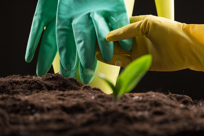 Sprout in ground. Man taking care about green young sprout growing in good brown soil with rubber gloves and watering can on background royalty free stock photography