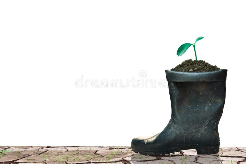 sprout growing in boot royalty free stock image