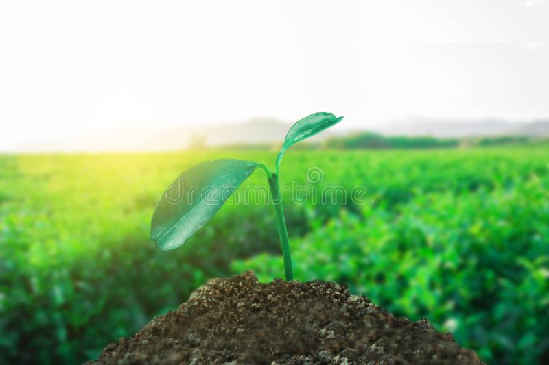 Sprout growing on ground with tea field background,. New life and hope concept stock photo