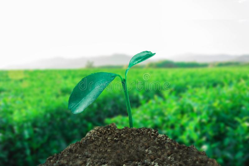Sprout growing on ground with tea field background. New life and hope concept royalty free stock photography