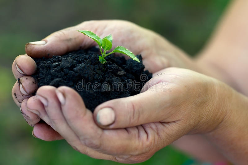 Download Sprout in hands stock photo. Image of cultivated, plant - 24798020