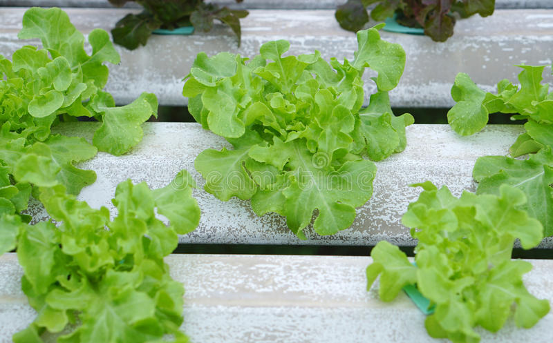 Sprout in Hydroponics farm. Cabbage sprout in Hydroponics farm royalty free stock photos