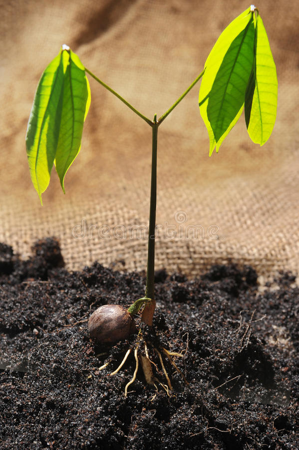 Sprout with leaf of rubber seed stock photo