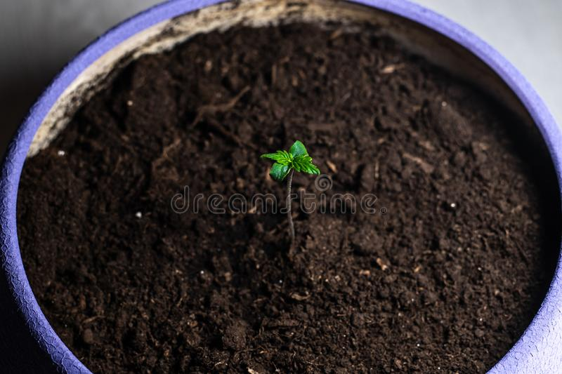 Sprout of medical marijuana. Marijuana plant growing indoors. Cannabis. Plant. Legalization all over the world stock images