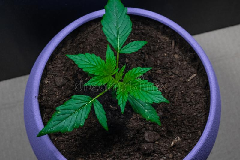 Sprout of medical marijuana. Marijuana plant growing indoors. Cannabis. Legalization all over the world.  royalty free stock photos