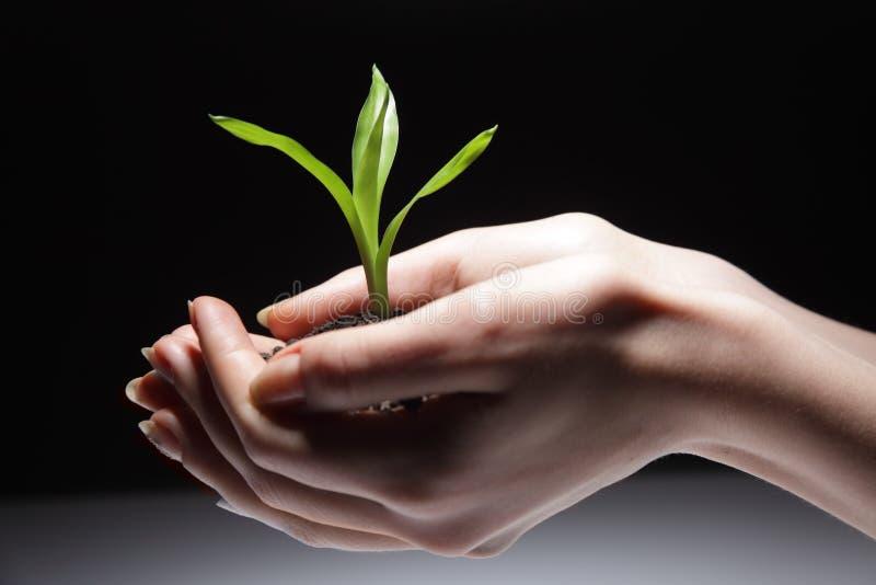 Sprout na mão da mulher fotos de stock