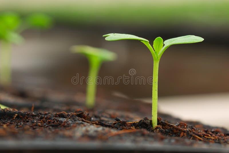 sprout pequeno da planta foto de stock