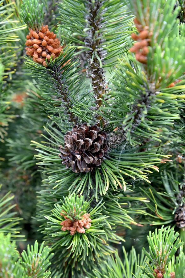 Sprout of a pine ordinary with a cone Pinus sylvestris L.  stock image
