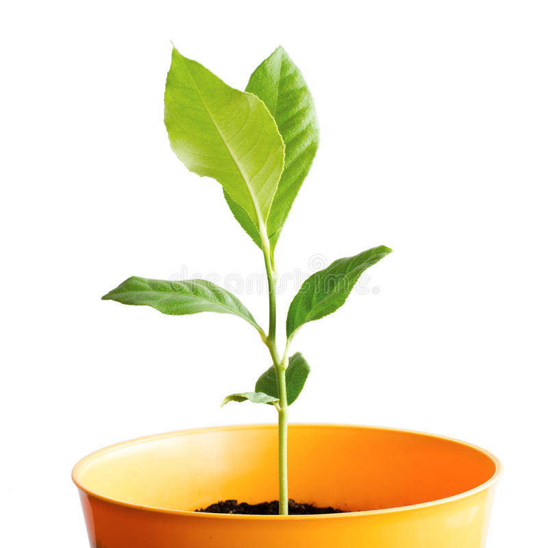 Sprout in pot. Citrus tree sprout in yellow pot isolated on white background stock photo