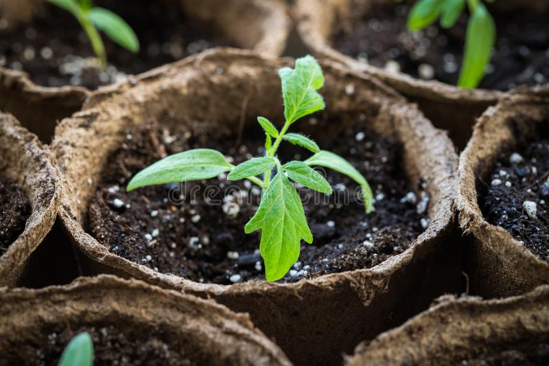 Sprout Seedling Of Tomato With Leaves Growing In Peat Pot. stock photos
