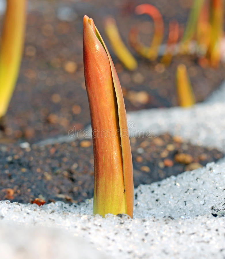 Sprout tulip appeared from under the snow royalty free stock photo