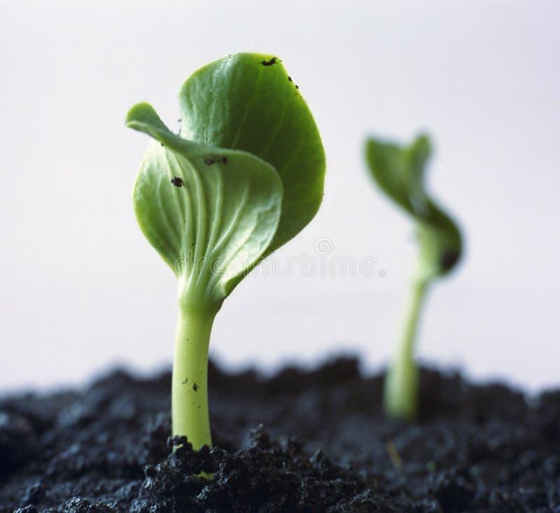 Sprout verde imagens de stock