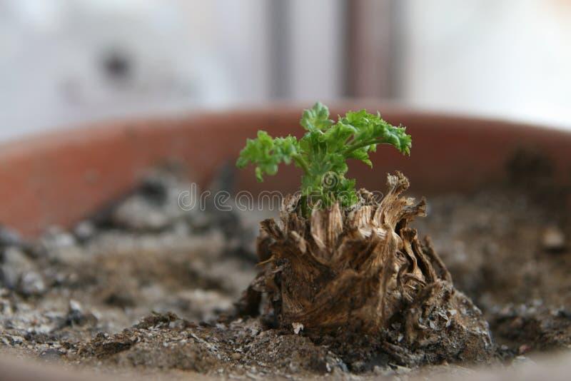 Sprout verde fotos de stock
