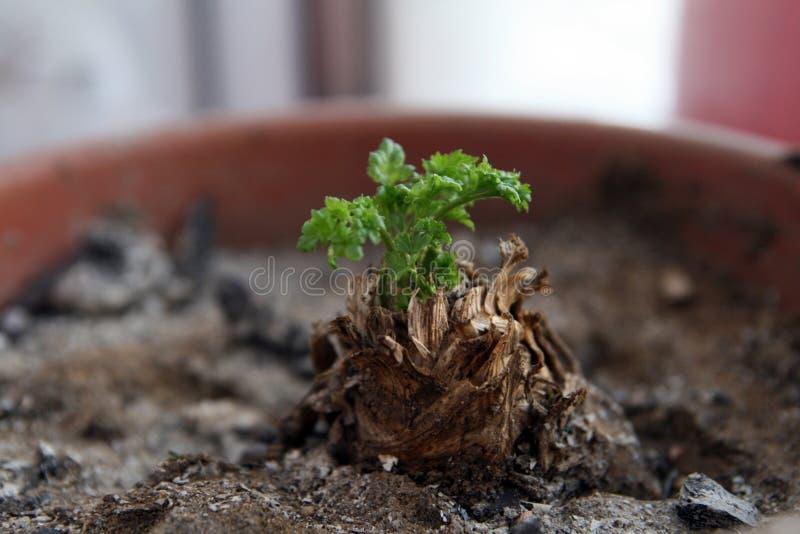 Sprout verde fotos de stock royalty free