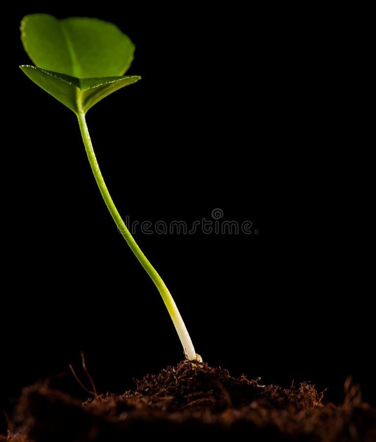 Sprout verde isolado imagem de stock royalty free