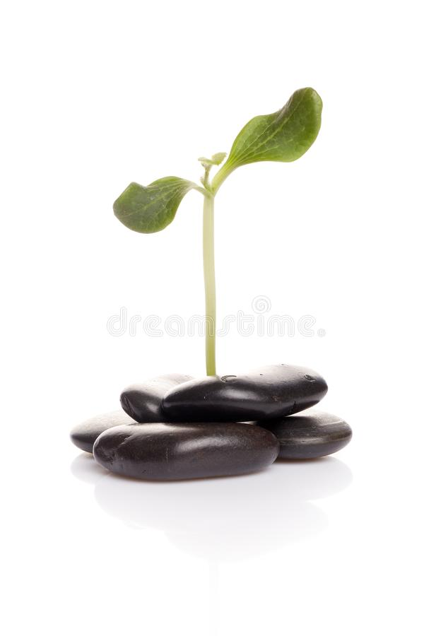Sprout verde pequeno entre pedras fotos de stock royalty free