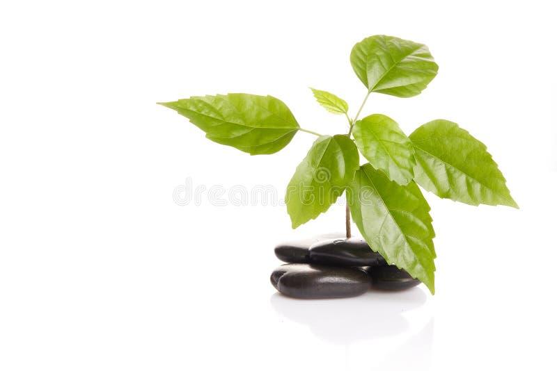 Sprout verde pequeno entre pedras foto de stock