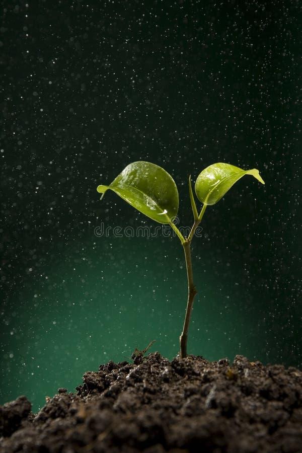 Download Sprout Verde Que Cresce Do Solo Imagem de Stock - Imagem de unripe, terra: 10061931
