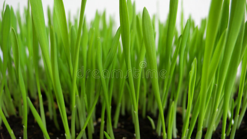 The sprout of the wheat royalty free stock images
