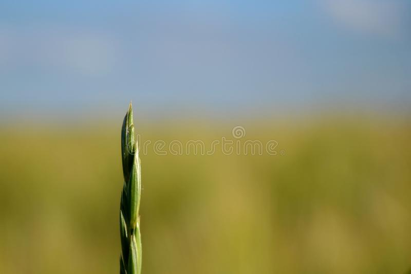 A sprout of wheat from a Danish field in Jutland stock photography