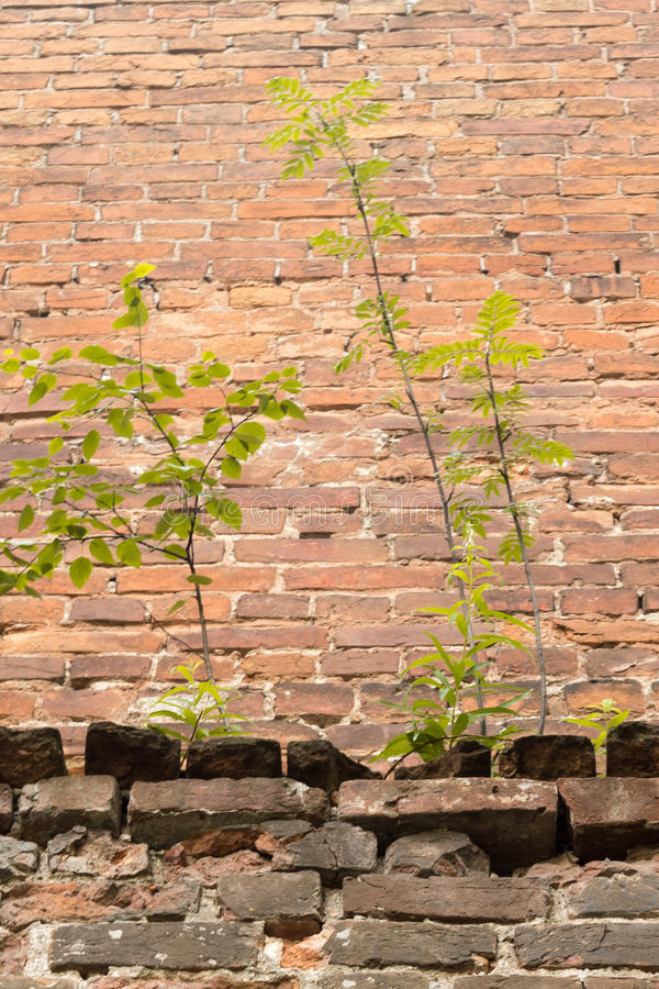 Sprout wood from brick walls a symbol perseverance royalty free stock photo