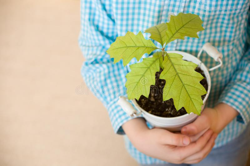 Sprout a young oak tree in a child hands. The concept - the life beginning, care, successful future growth. Oak sapling. In hands. Boy going to plant a new oak royalty free stock photography