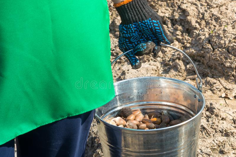 Sprouted acorns before landing in a bucket in the hand of a woman. In a green cape royalty free stock photos