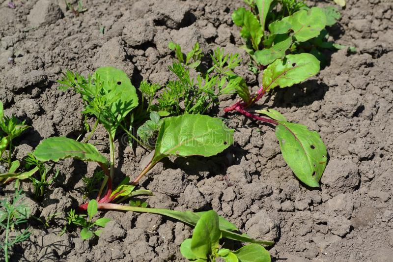 Sprouted beet seeds. Young green sprouts on on black ground. Delicate little leaves. Shoots of red beet. Nice landscape. Leaves close up royalty free stock image