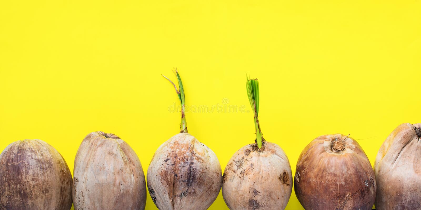 Sprouted brown coconut or Cocos thick crust shell. Row Sprouted brown coconut or Cocos nucifera L. nut in stiff thick crust shell on yellow background Most stock image