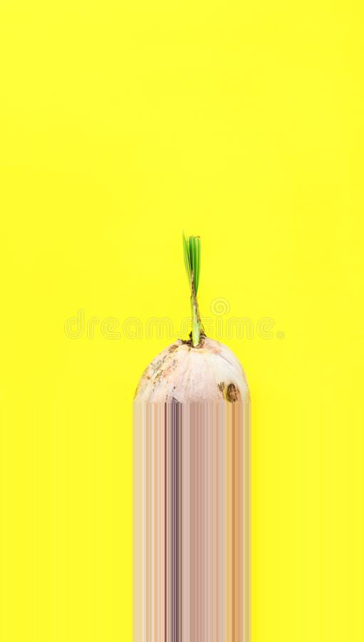 Sprouted brown coconut design one pixel strips. Sprouted brown coconut in stiff thick crust shell on Yellow Background Product domestic economic Thailand Natural stock images