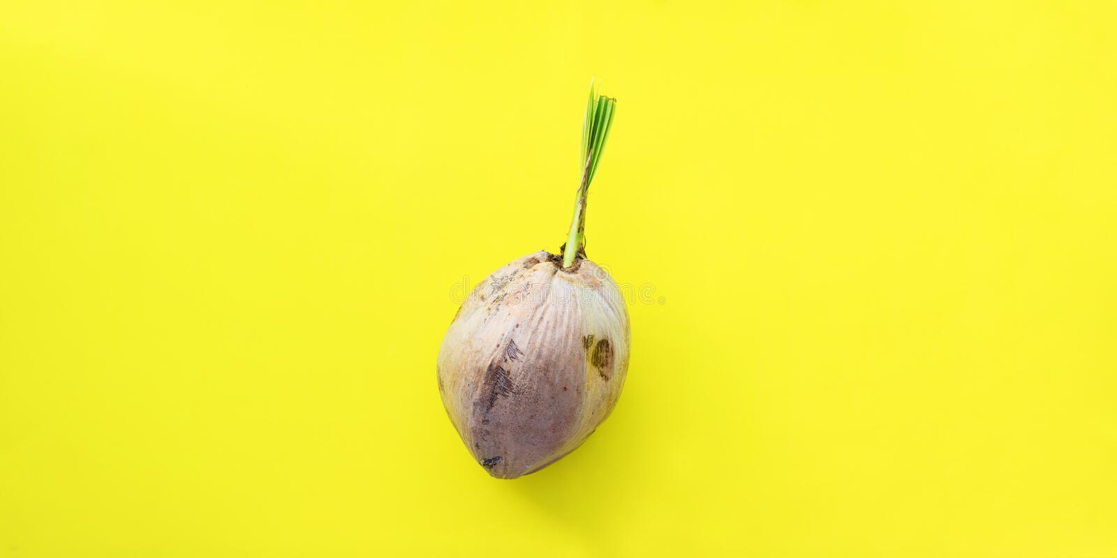 Sprouted brown coconut thick crust shell Yellow. Sprouted brown coconut or Cocos nucifera L. nut in stiff thick crust shell on yellow background Most important royalty free stock photo