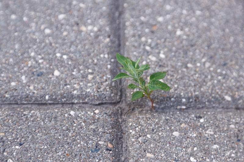 Sprouted through a concrete slab flower royalty free stock images