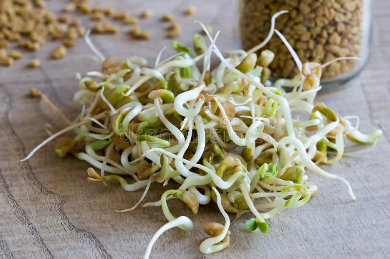Sprouted fenugreek, with dry fenugreek seeds in the background royalty free stock image