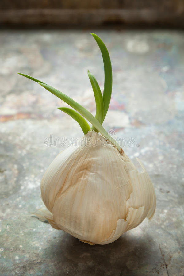 Sprouted Garlic stock photography