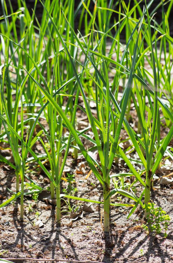 Sprouted garlic in home garden; fresh green stalks, garlic bulbs, grow your own garlic,. Sprouted garlic in home garden; fresh green stalks, garlic bulbs, grow stock photo