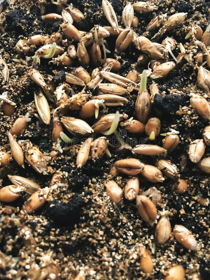 Sprouted grain. Fresh organic sprouted wheat seeds in ground at royalty free stock photo