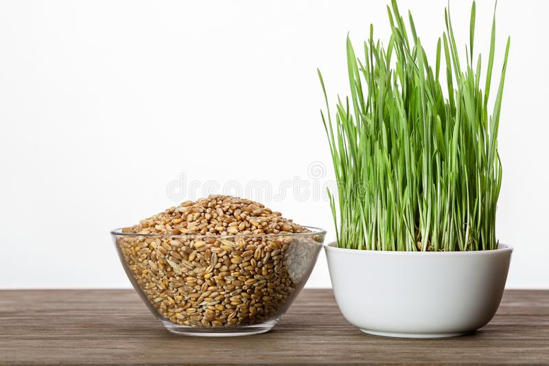 Sprouted green wheat grass and wheat grains in cups. Close-up. royalty free stock photography