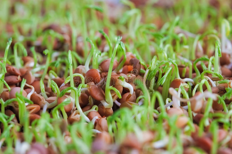 Sprouted lentils extreme closeup. Healthy food supplement for go. Od diet. Shallow depth of field royalty free stock photos