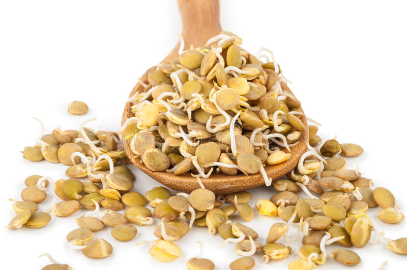 Sprouted lentils. On white background royalty free stock photos