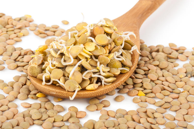 Sprouted lentils. On white background stock photo