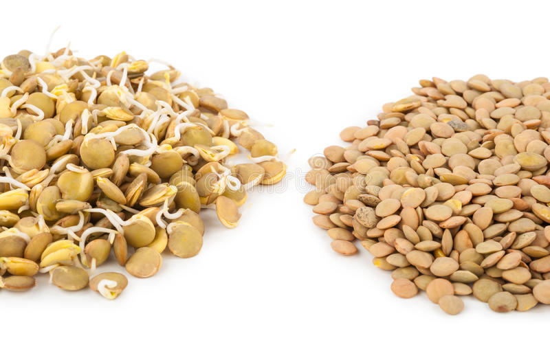Sprouted lentils. On white background royalty free stock image