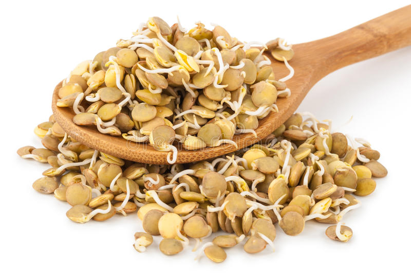 Sprouted lentils. On white background stock images