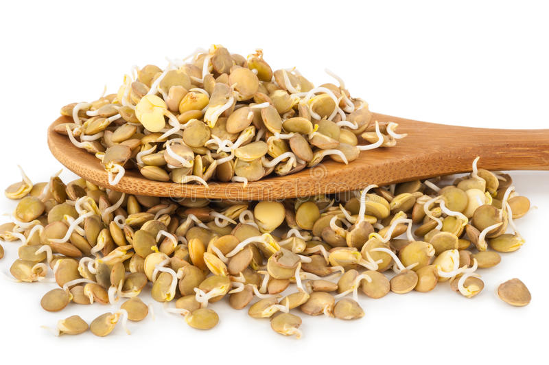 Sprouted lentils. On white background royalty free stock photography