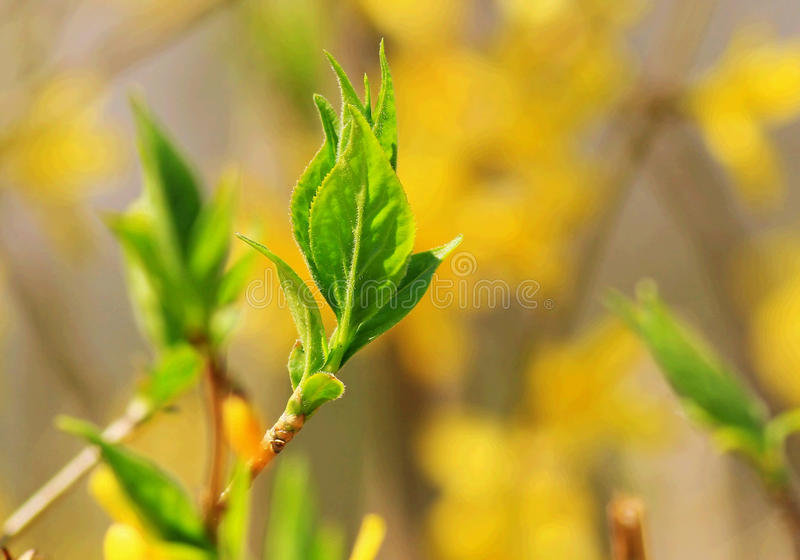 Sprouted new leaves. In spring , the trees have sprouted new leaves and swayed in the breeze . the yellow flowers clustered around the little branches stock photography