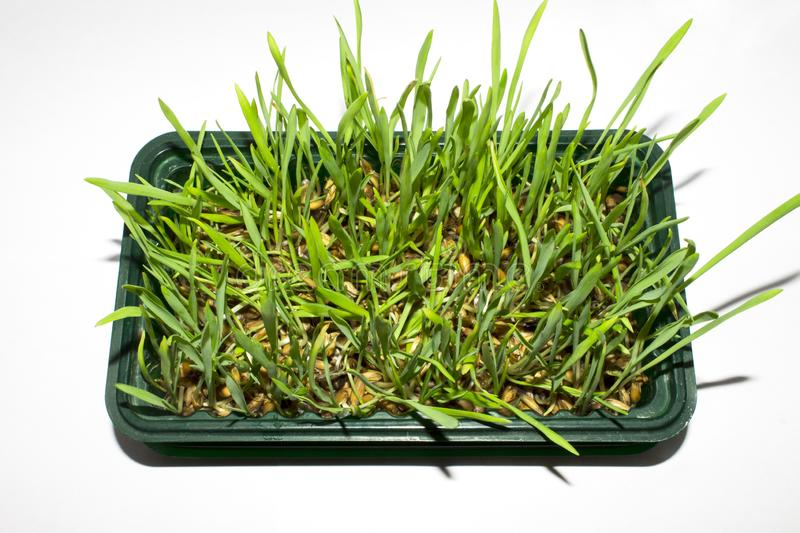 Sprouted oats.Sprouted green shoots.Green grass. Young oat shoots royalty free stock photo