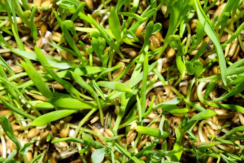 Sprouted oats.Sprouted green shoots.Green grass. Young oat shoots royalty free stock photography
