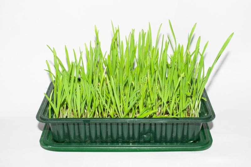 Sprouted oats.Sprouted green shoots.Green grass. Young oat shoots royalty free stock image