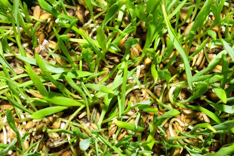 Sprouted oats.Sprouted green shoots.Green grass. Young oat shoots stock photography