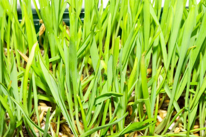 Sprouted oats.Sprouted green shoots.Green grass. Young oat shoots stock image