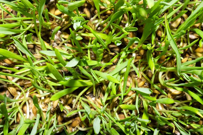 Sprouted oats.Sprouted green shoots.Green grass. Young oat shoots stock photos